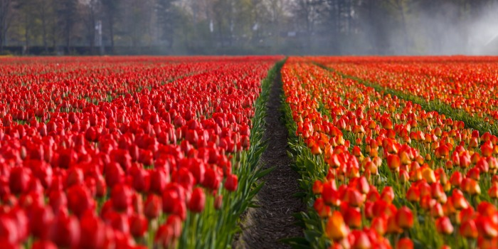 tulips-tulip-field-fields-87633.jpeg